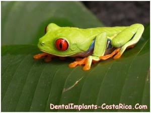Red Eyed From - Costa Rica