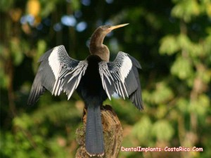 Anhinga Bird in Costa Rica