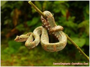 Bocaraca Snake in Costa Rica
