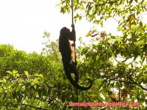 Howler monkey found in Tortuguero National Park
